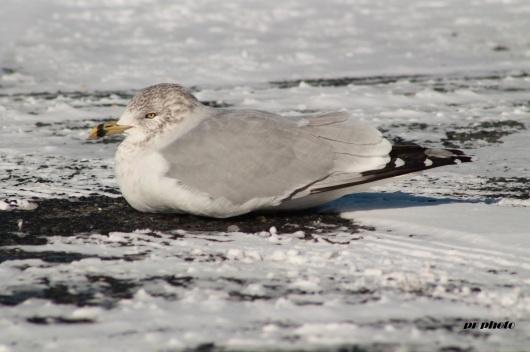lone gull (2)