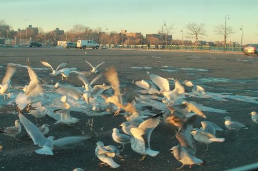 gulls swarm 4 this