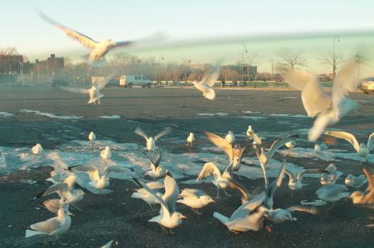 airborne gulls 2