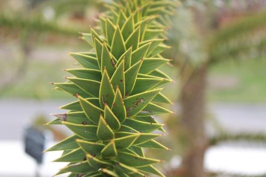 IMG_3784 monkey puzzle tree