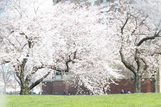 IMG_3945 cherry blossoms starrett city