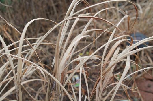 yard grass