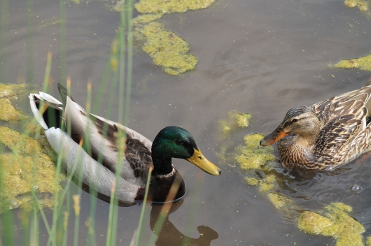 duck couple (2)