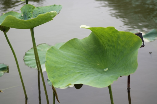 IMG_6971 canna on pond