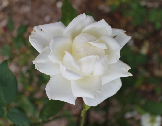 IMG_7866 white rose 2