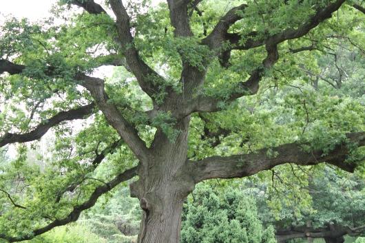 IMG_7024 great tree