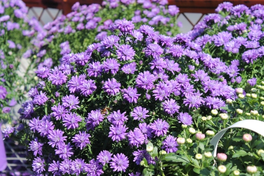 IMG_8680 purple flowers
