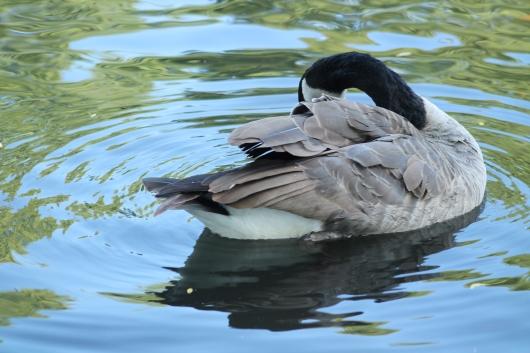 IMG_9732 duck preening