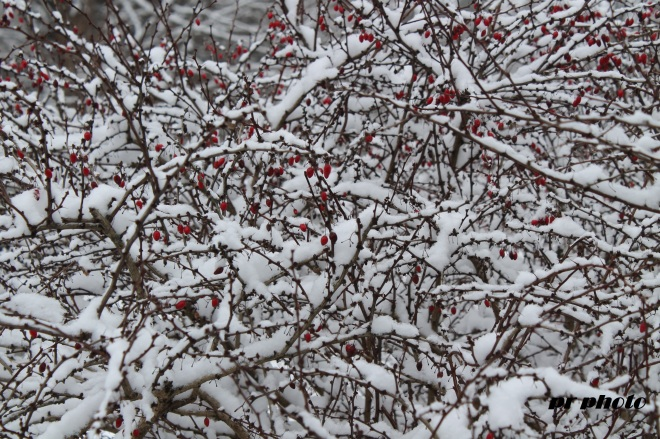 berries in snow 1