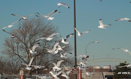 gulls airborne 3 croped