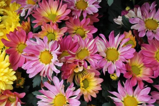 IMG_9665 daisies flowers