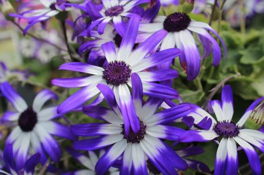 IMG_4252 purple daisy 2