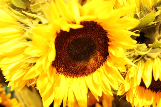 IMG_9675 sun flowers
