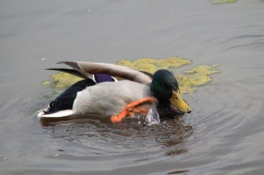 duck one leg up