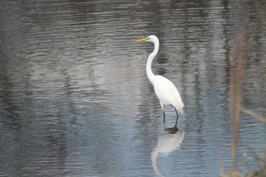 IMG_0446 egret