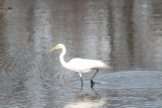 IMG_0451 egret