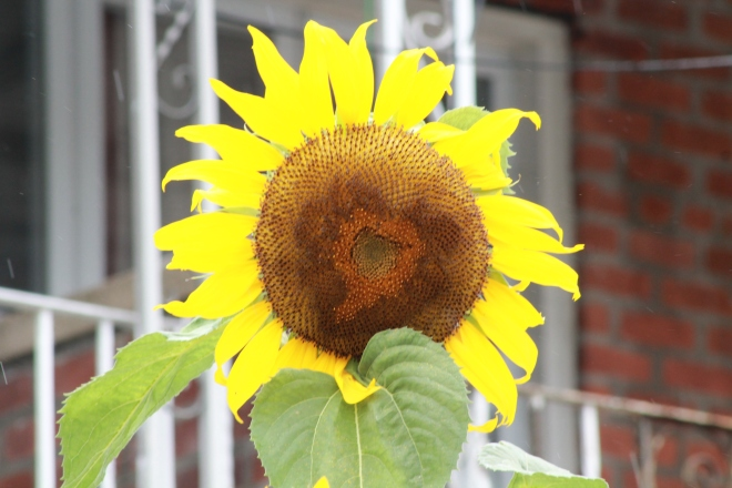 IMG_8232 sunflower