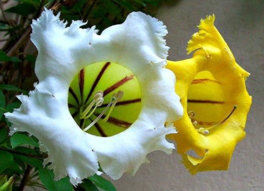 solandra grandiflora 3