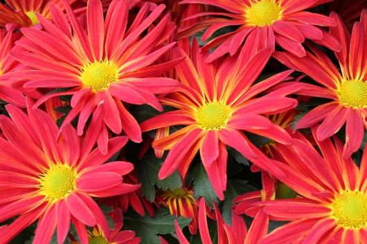 IMG_9664 daisies flowers
