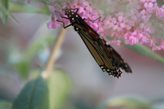 IMG_9527 butterfly