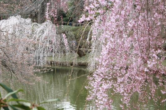 IMG_3797 cherry blossoms