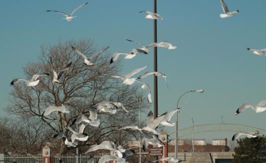 gulls-airborne-2-croped.jpg.jpg
