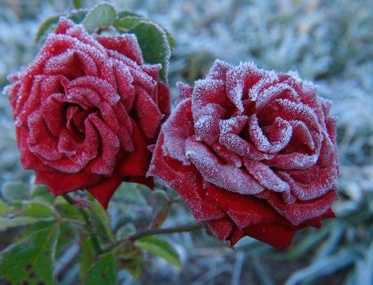 winter-roses