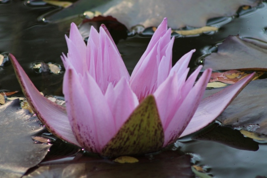 Open Lilly in pond