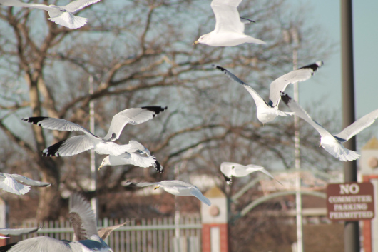 gulls airborne 1 croped