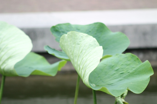 img_6973-lotus-on-pond LEAF