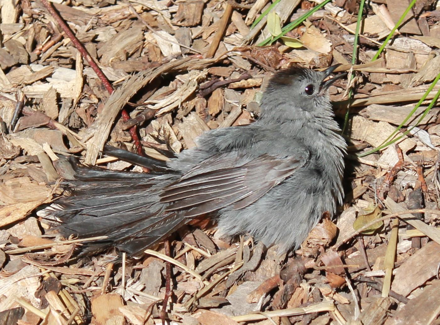 IMG_1581 bird sunbathing