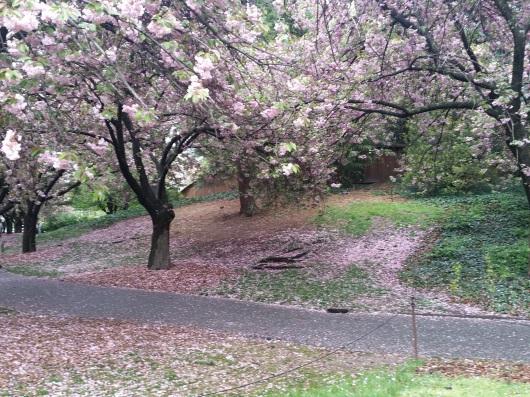 cherry-blossom-20160501_161308