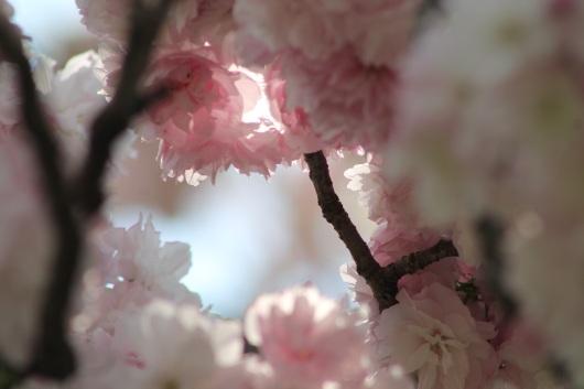 cherry-blossom-img_1327
