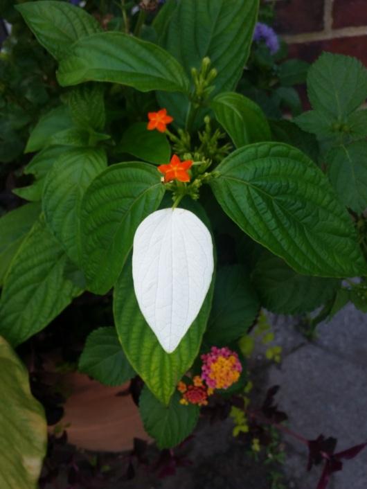 oddball 20160719_163056 white leaf.jpg