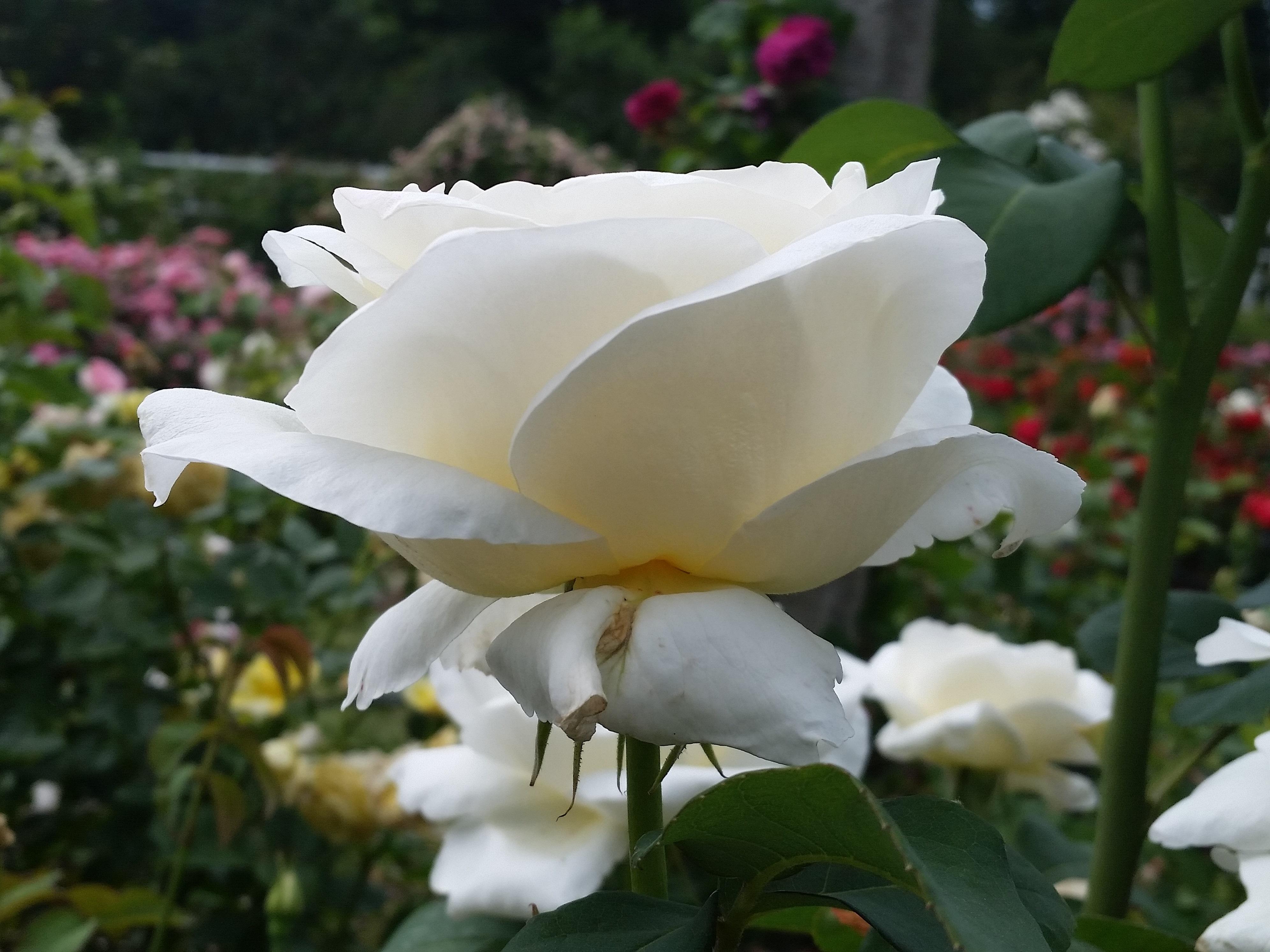 20160611_125242 white rose.jpg