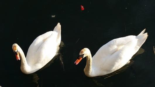 swans 20170411_183323