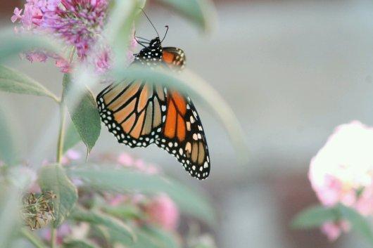 img_9513-butterfly-1881021169.jpg