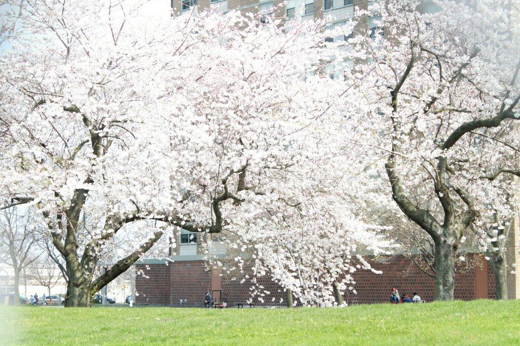 img_3945-cherry-blossoms-starrett-city729352608.jpg