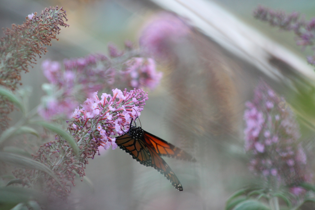 img_2128-butterfly